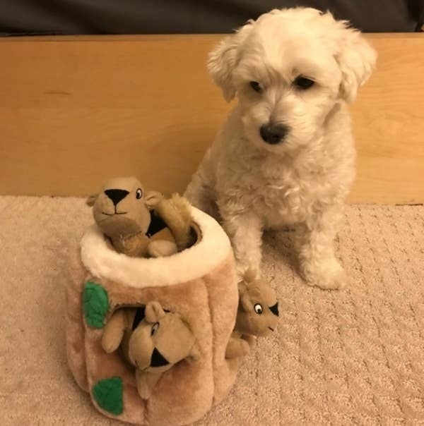 A small white dog sitting beside the squirrel plush toy to show how small it is.