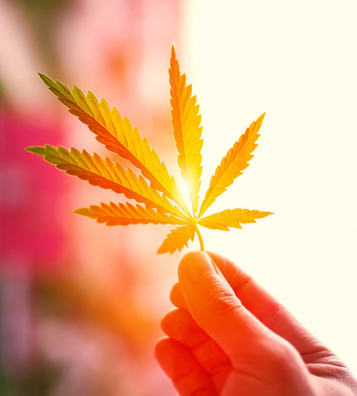hand holding weed leaf under orange light