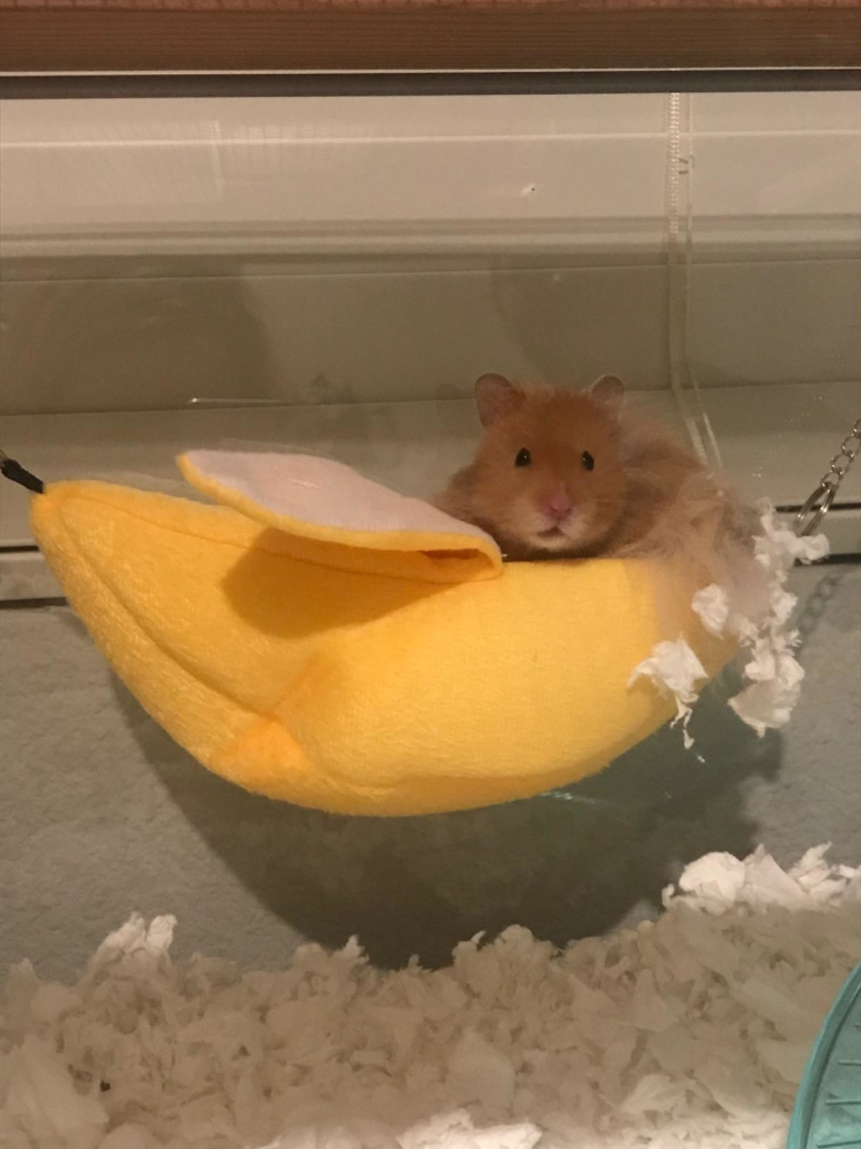 a reviewer's hamster in the yellow hammock
