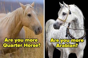 quarter horse and arabian horse