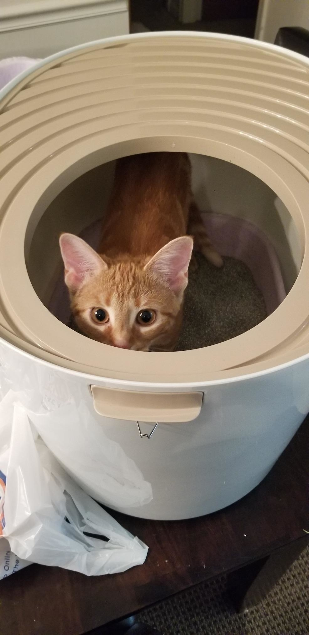 Review photo of cat enjoying the white top-entry litter box
