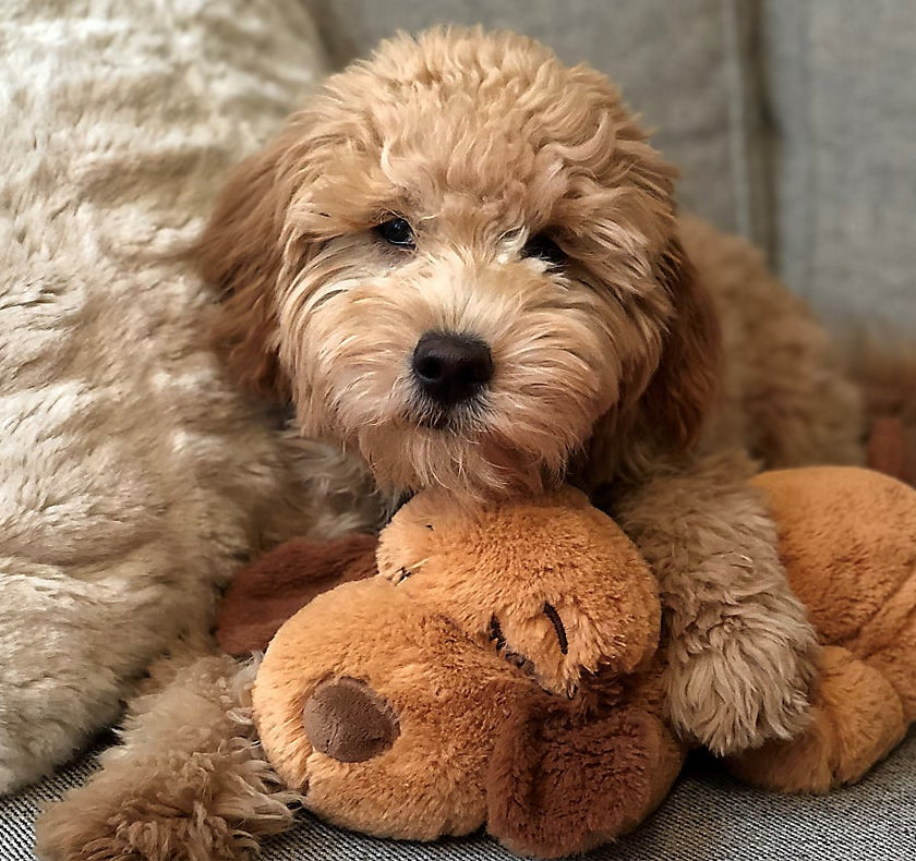 A puppy and their Snuggle Puppy