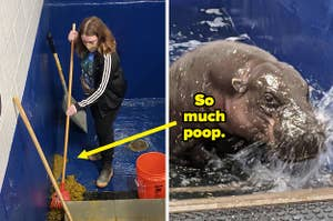Woman sweeping poop next to a hippo in the water