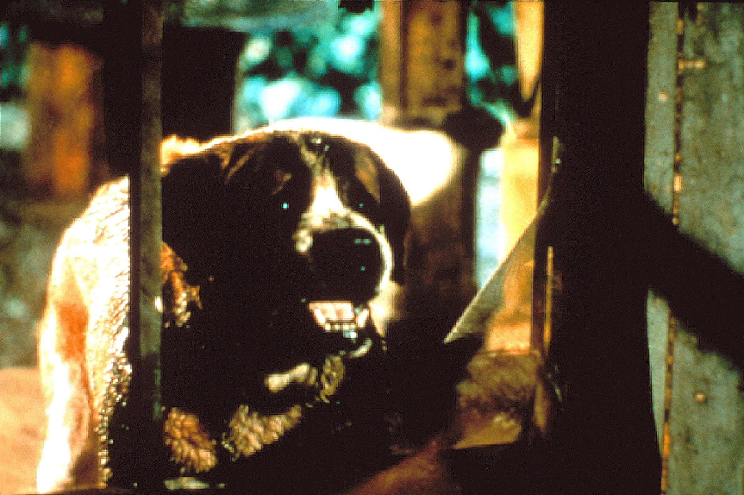 Cujo baring his teeth in the film