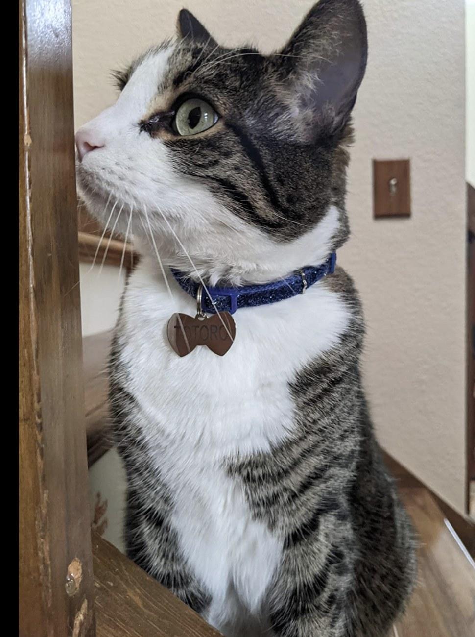 a cat wearing a bowtie shaped cat ID tag