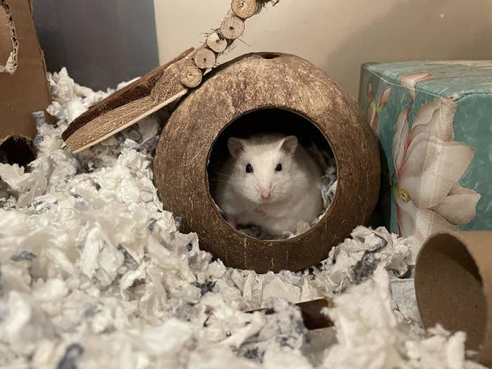a reviewer's white hamster in the coconut house