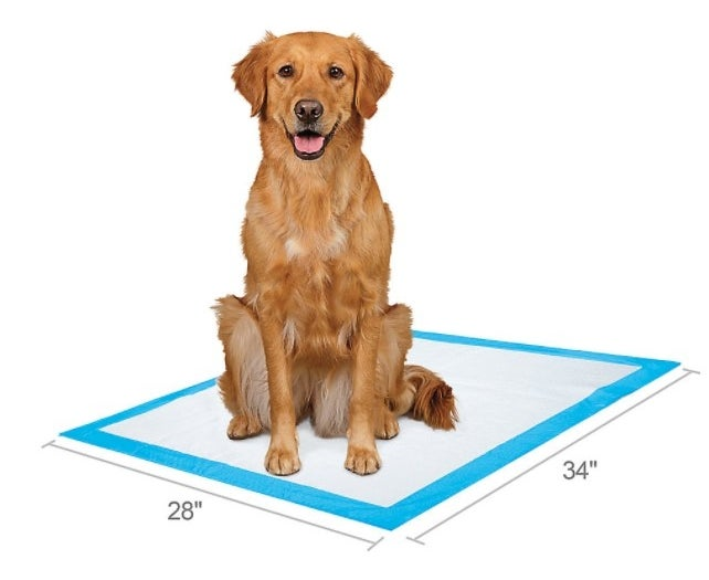 The set of dog pads in white with a blue boarder being used by a Golden Retriever
