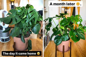 The monstera when it came home / The expanded monstera, a month later