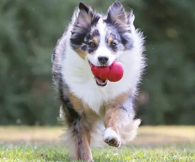 Dog enjoying the classic KONG toy