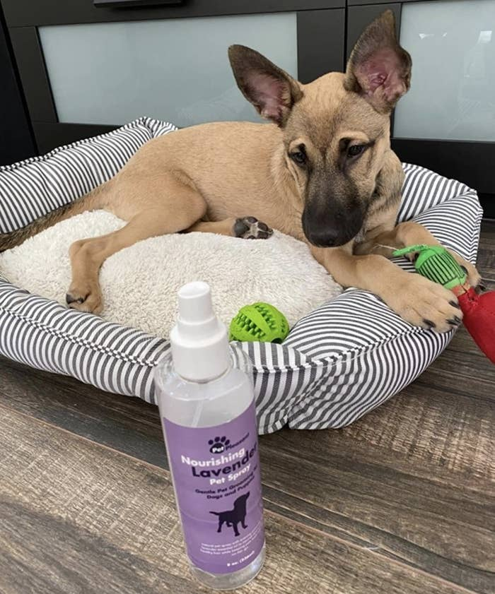 A dog looking at a lavender pet spray