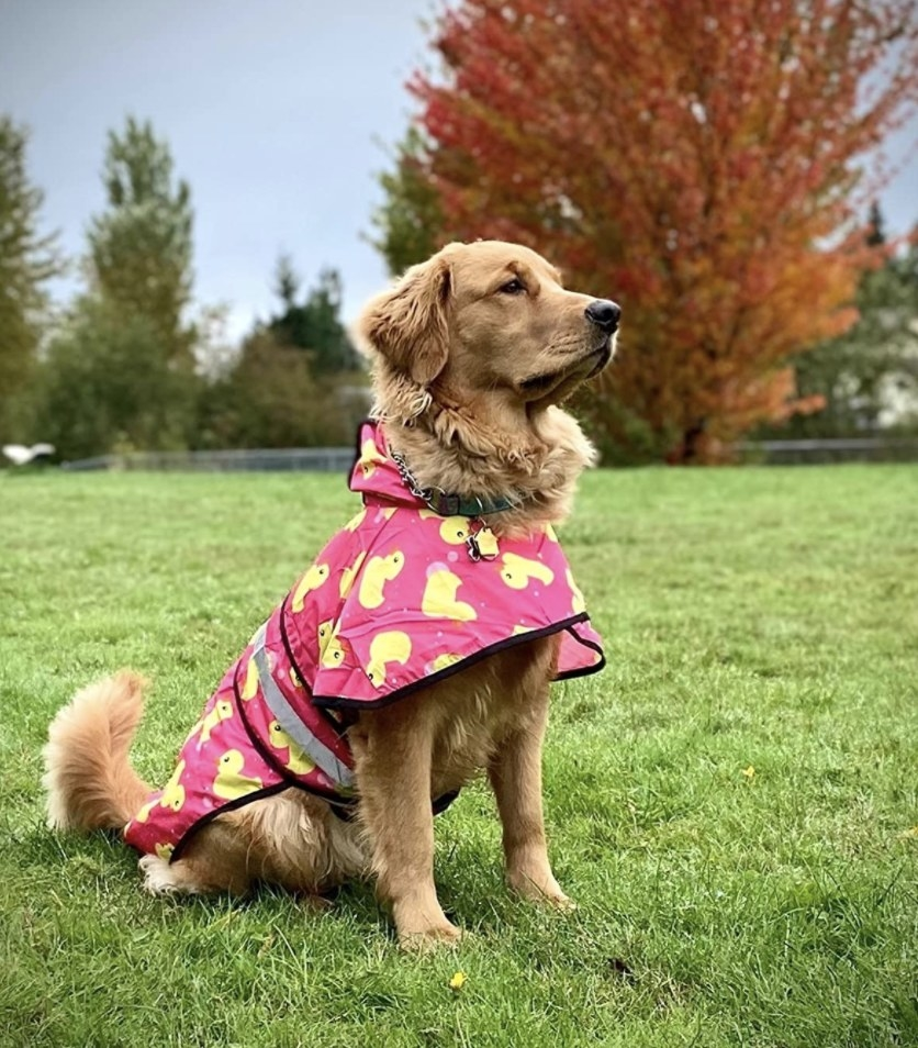A dog wearing a pink ducky raincoat