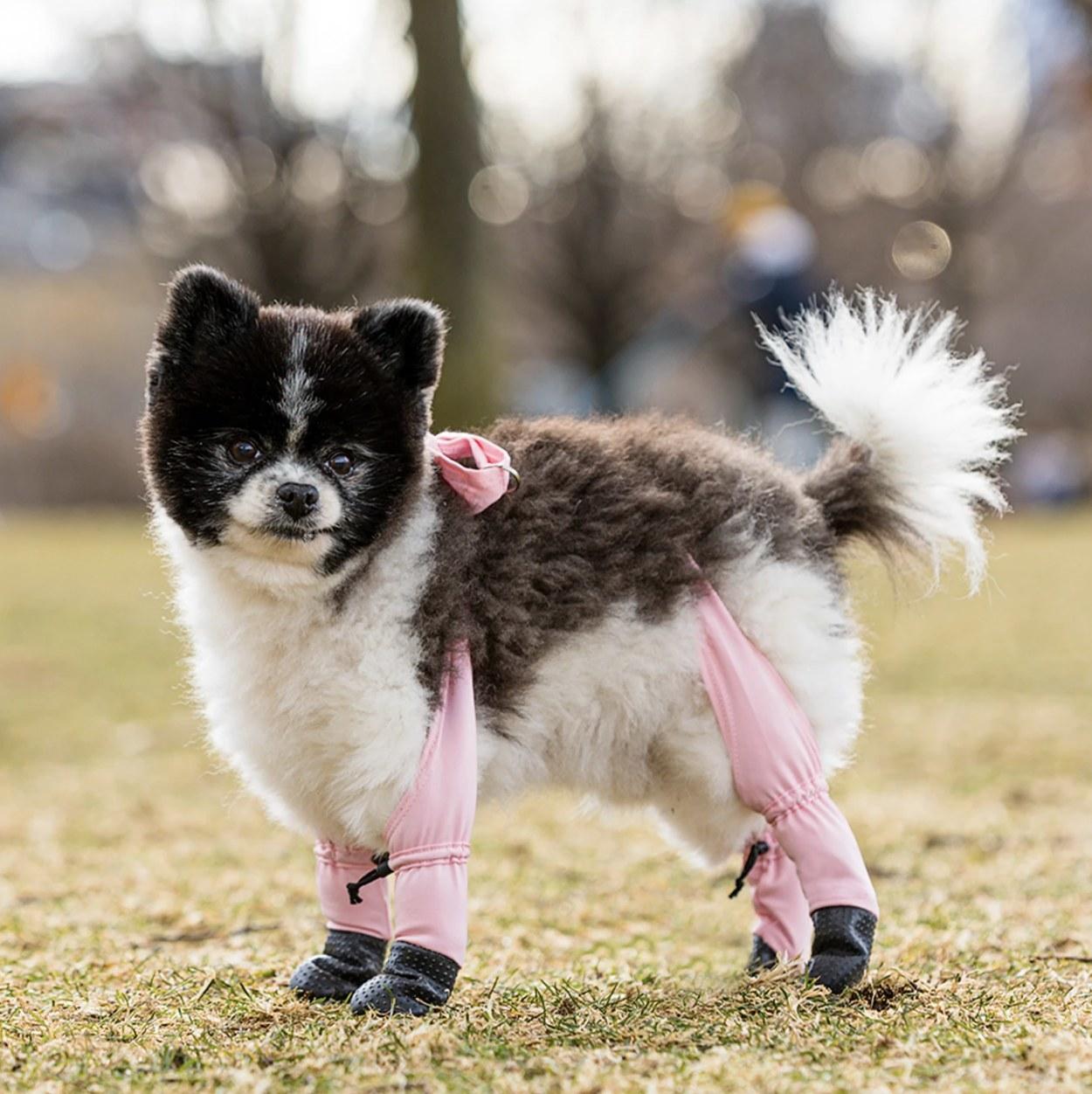 A dog wearing leggings