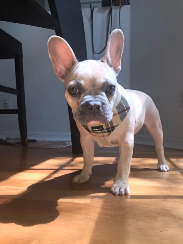 A small French bull dog wearing the plaid harness.