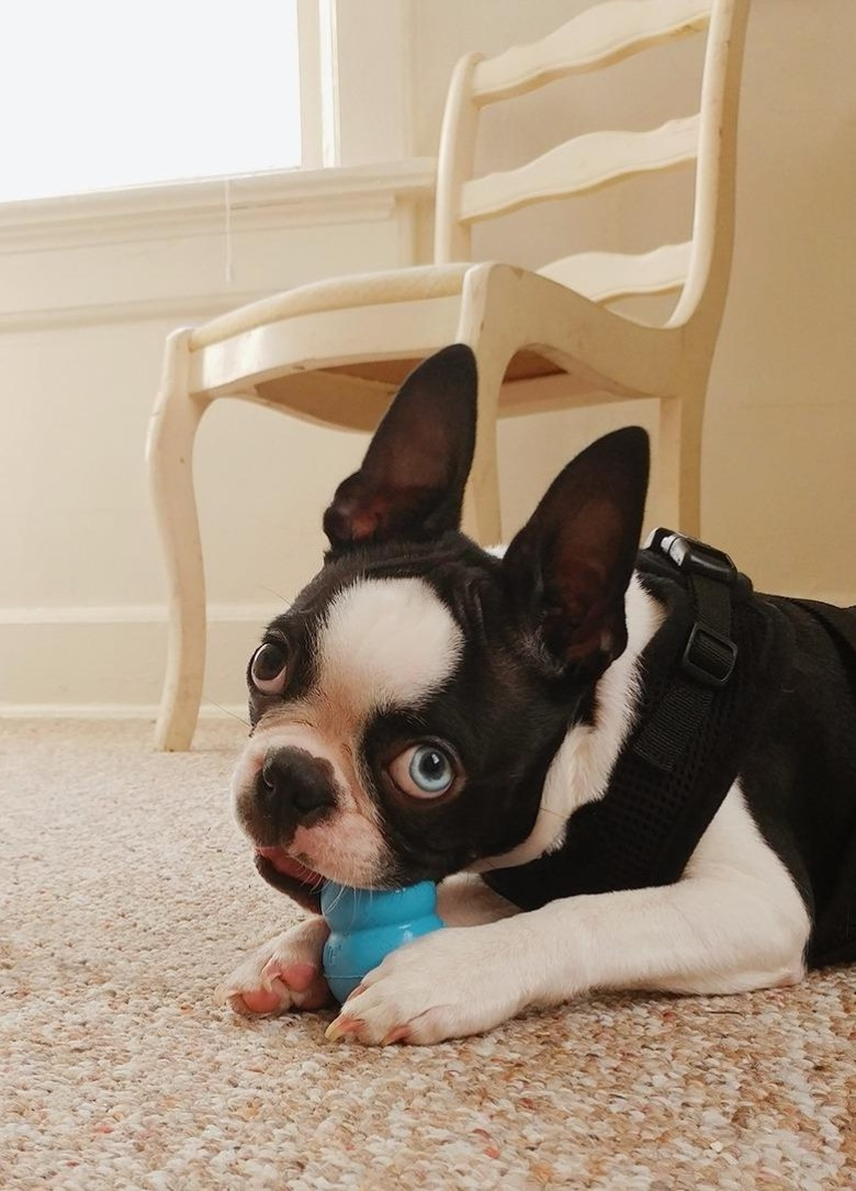 A small dog chewing on the Kong in blue.