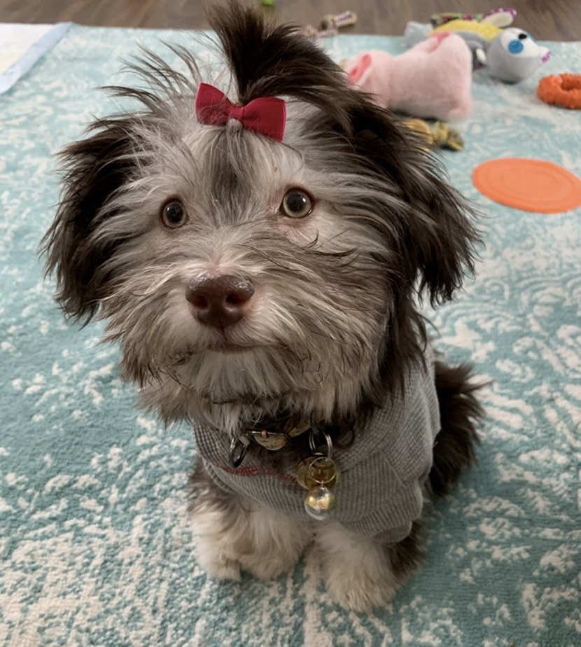 A dog wearing a red bow