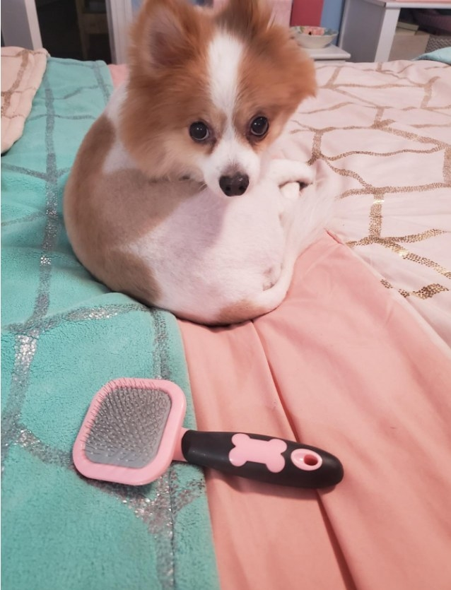 A small dog sitting behind the brush in pink to show its size.