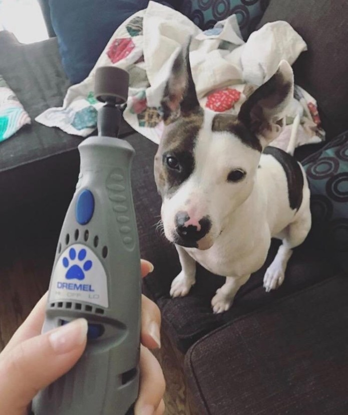A small dog waiting to get its nails trimmed with the grinder.