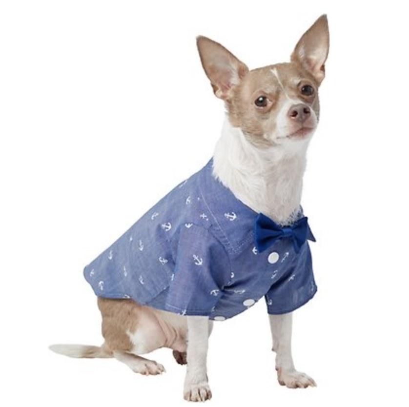 A dog wearing a chambray button-down blue shirt