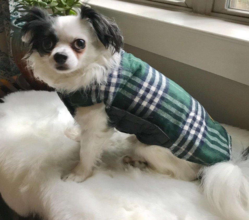 A small dog wearing the coat in green.