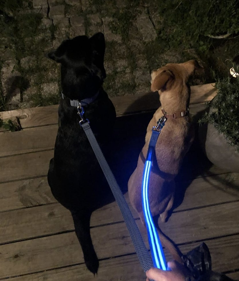Two dogs and one has an LED leash