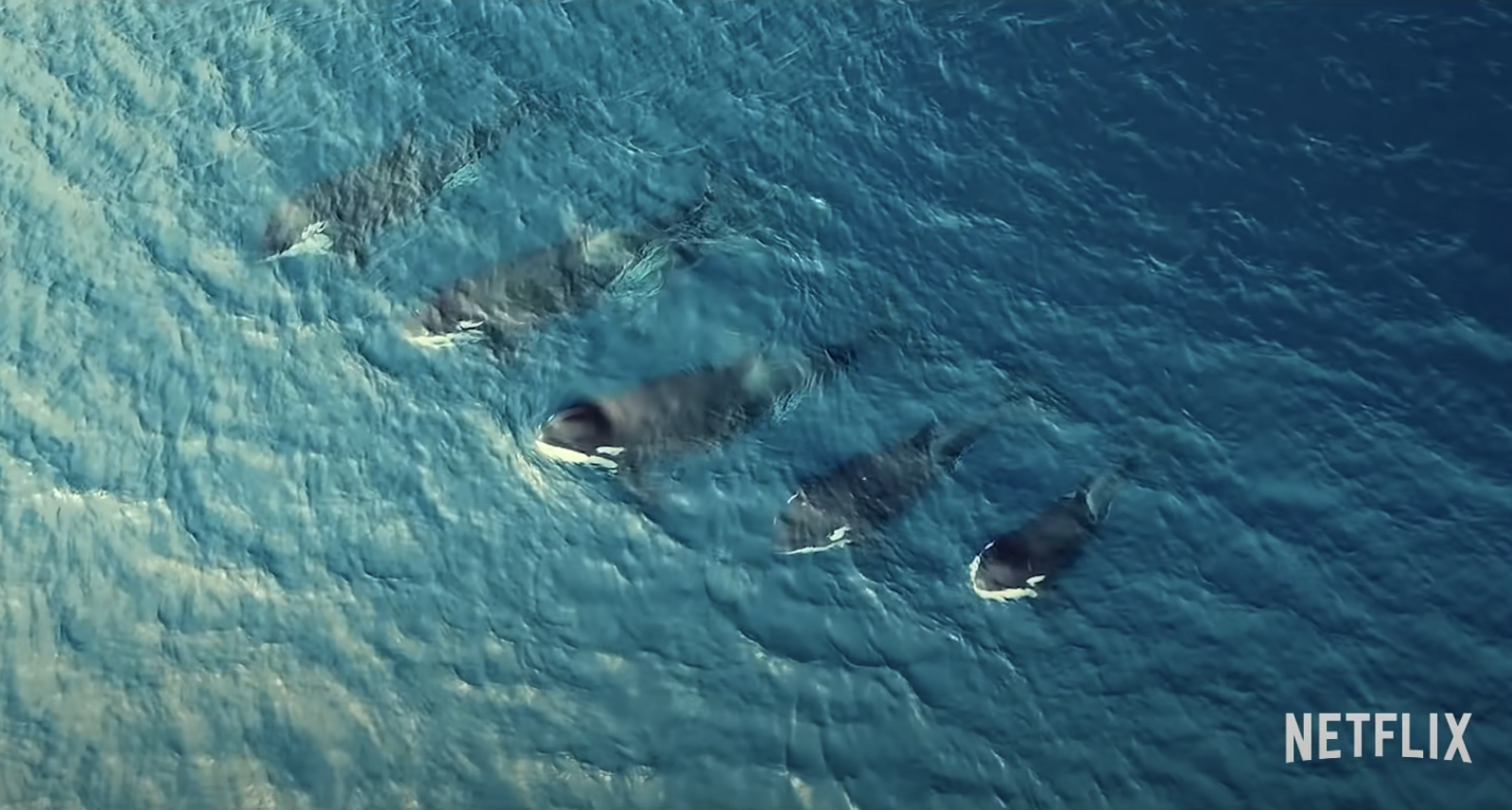 five orca whales in the ocean