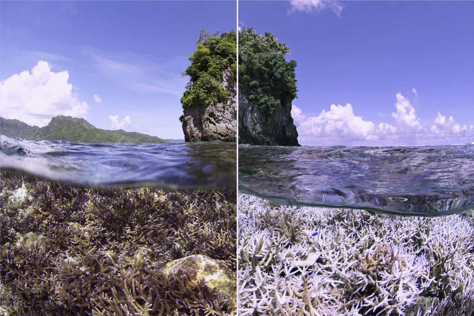 photo of healthy coral versus the same coral that has been bleached