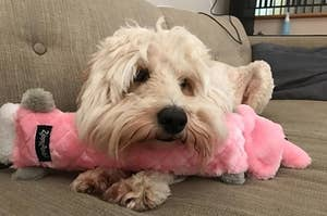 A small white dog resting its chin on the crinkle toy to show its length.