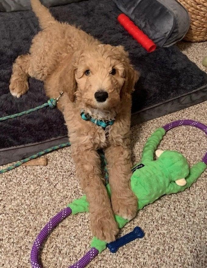 Dog with green monkey tug-o-war toy