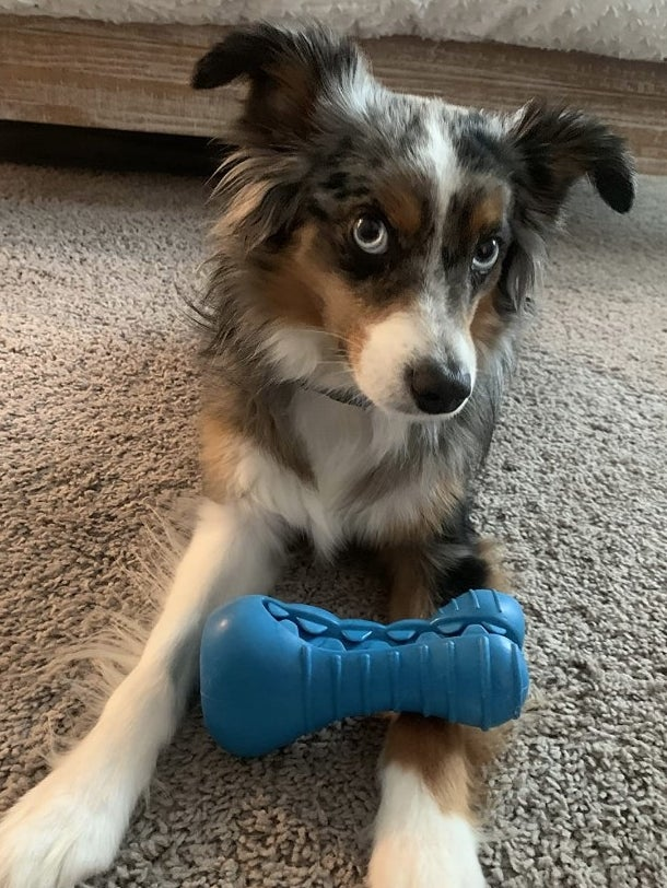 Dog with blue squeaker toy