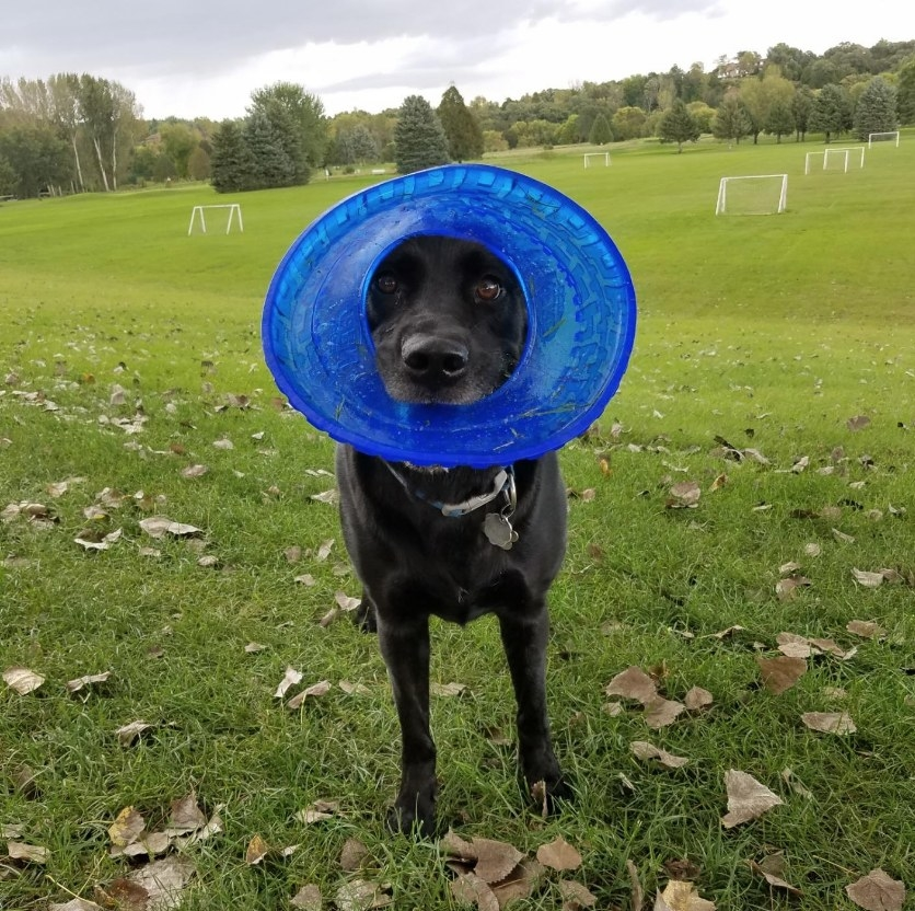 Dog holding flying disc toy in mouth