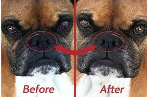 Before of a boxer with a dried nose and the same dog after the balm has been applied and their nose looks moisturized