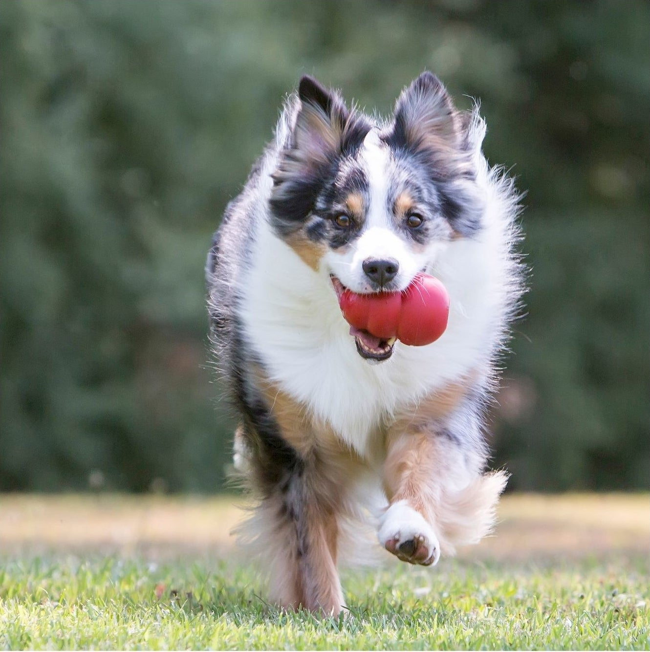 Dog running with a red Kong toy in its mouth