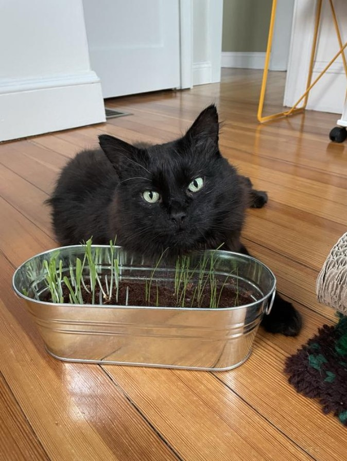 The reviewer's photo of their cat with the cat grass