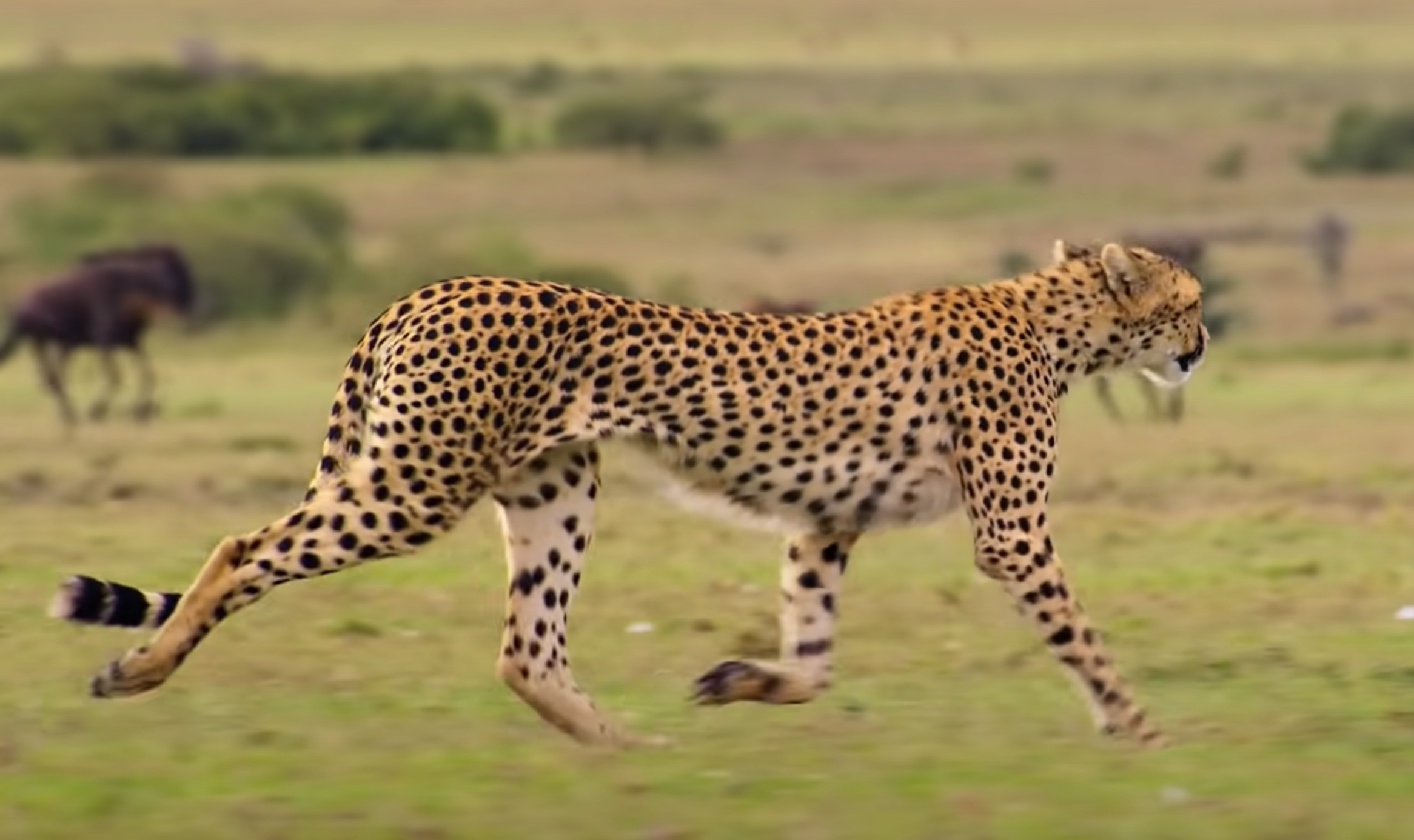 A cheetah roaming the fields in Africa