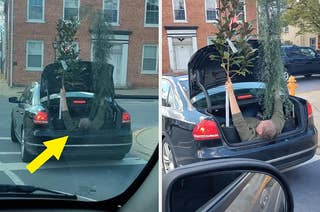 A man holding up two small trees in the open trunk of a car