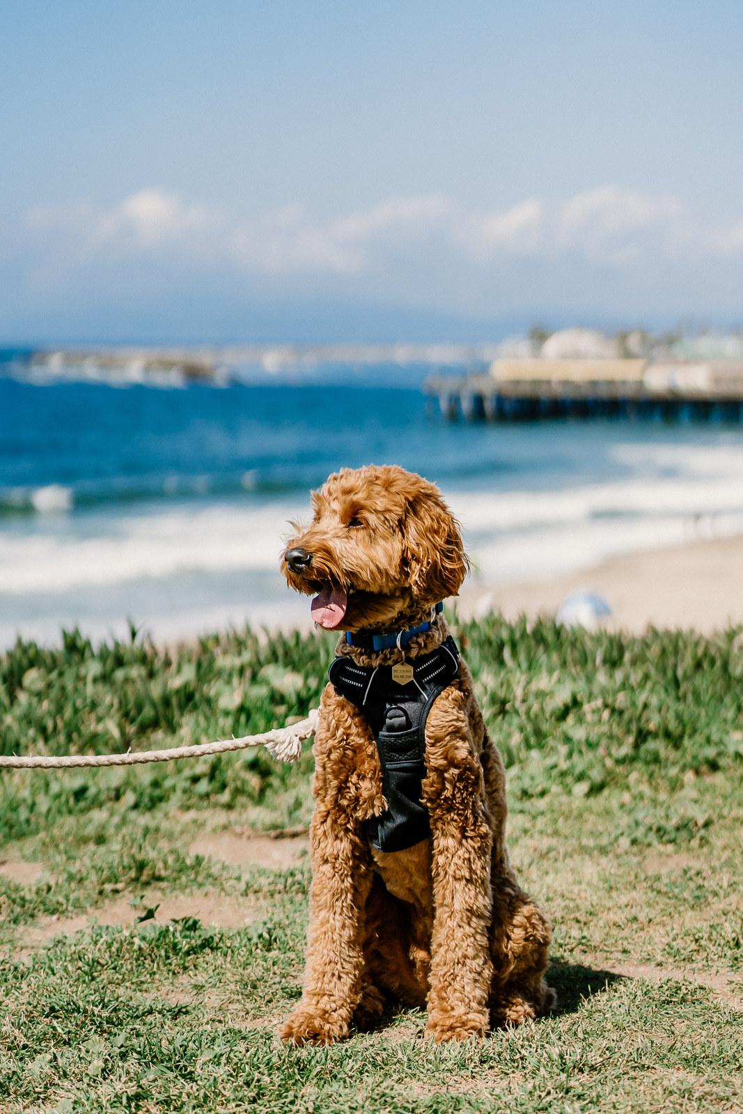 Rush sitting on the beach like a very good boy
