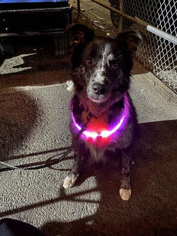 a reviewer's dog with a pink glowing collar