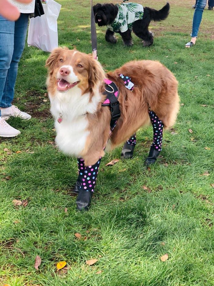 A dog wears the leggings in polka dot
