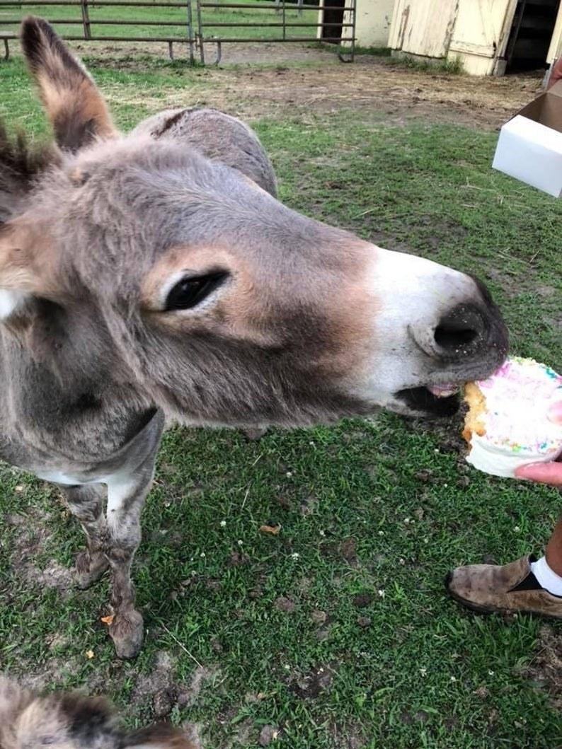 A donkey eats a cake