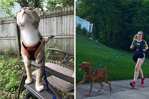 L: Cat wearing an orange harness R: reviewer running with dog leash around their waist