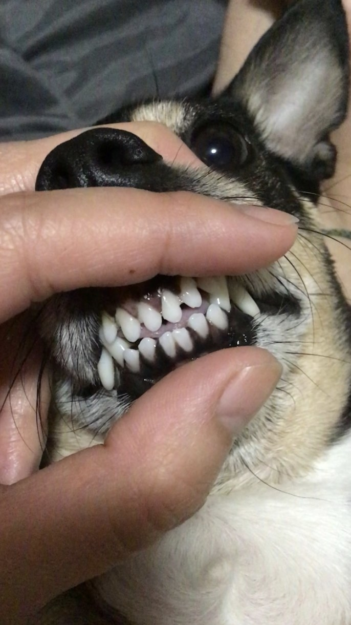 a dog with very white and clean front teeth