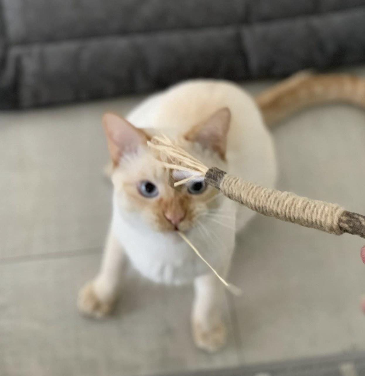 a cat staring at a catnip chew stick