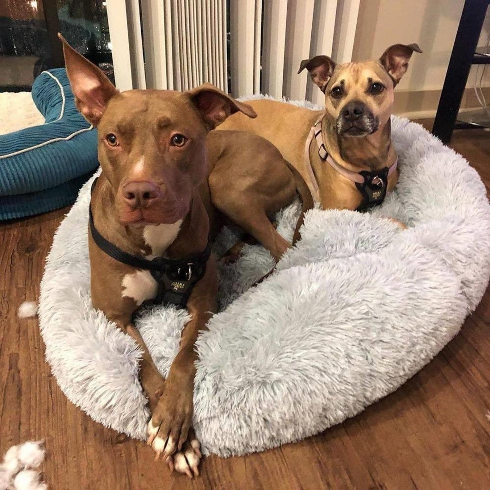 Two dogs sitting on the pet bed