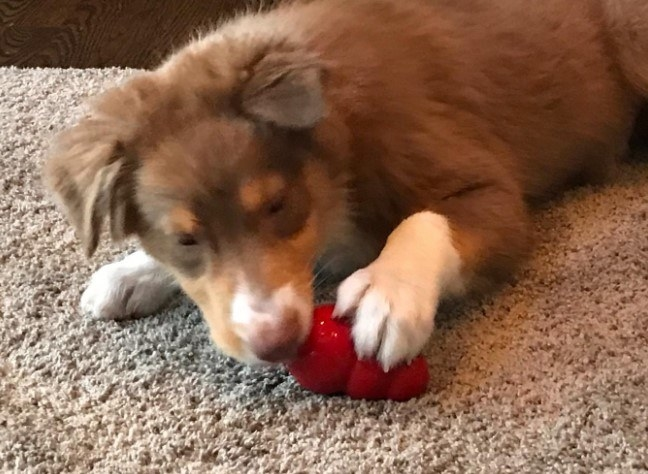Reviewer's photo of a dog chewing on the Kong