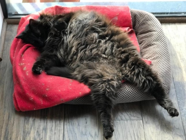 Reviewer's photo of a cat relaxed on a bed treated with the spray
