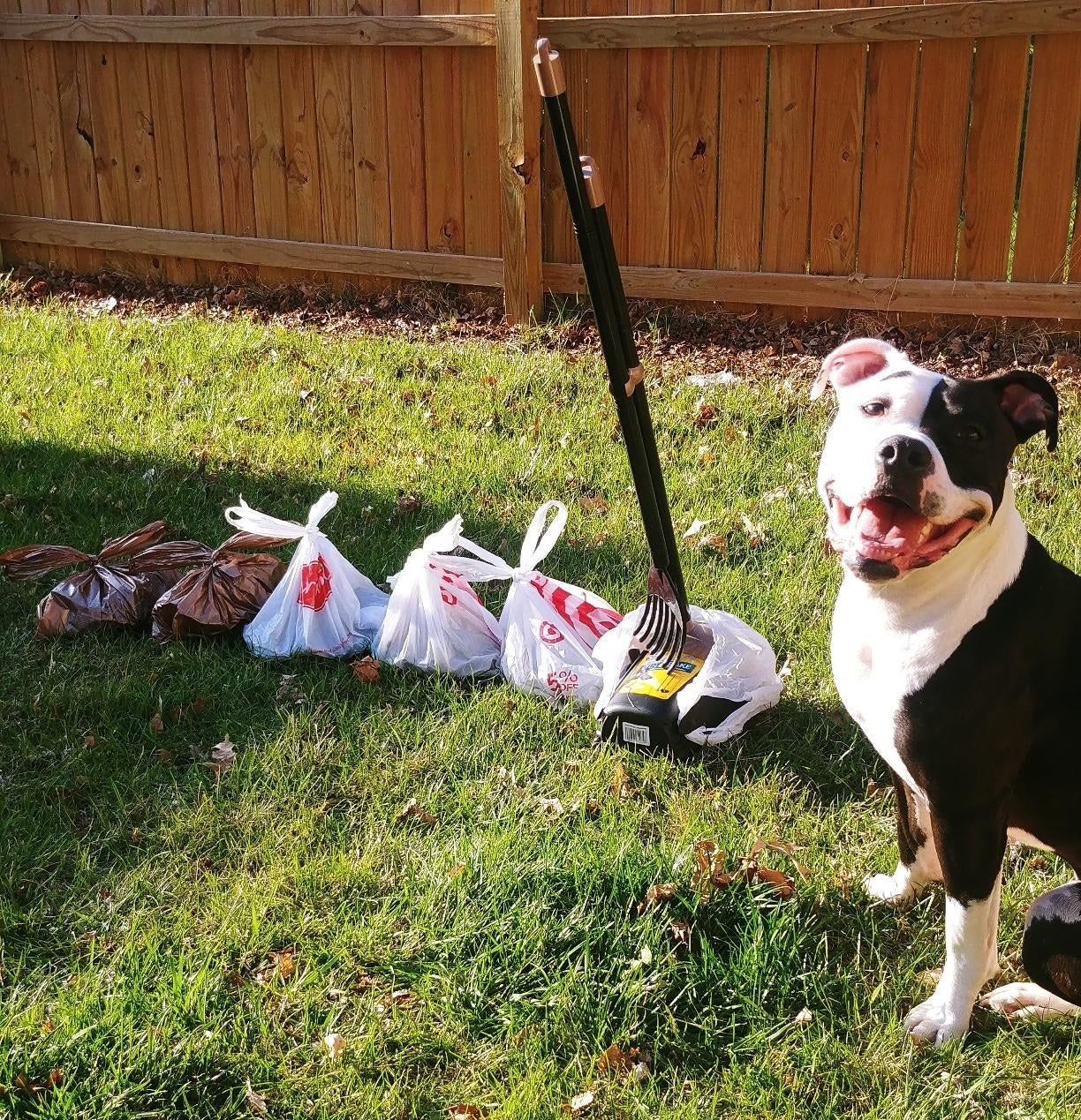 A black and white dog on a lawn next to the scooper with five tied-up plastic grocery bags full of the dog's poop.