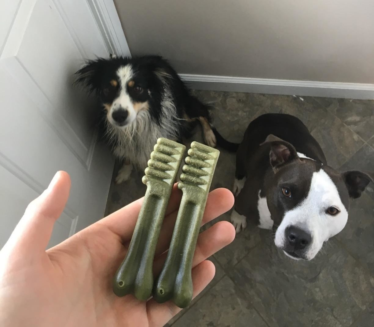 a reviewer holding two Greenies treats in front of their dogs