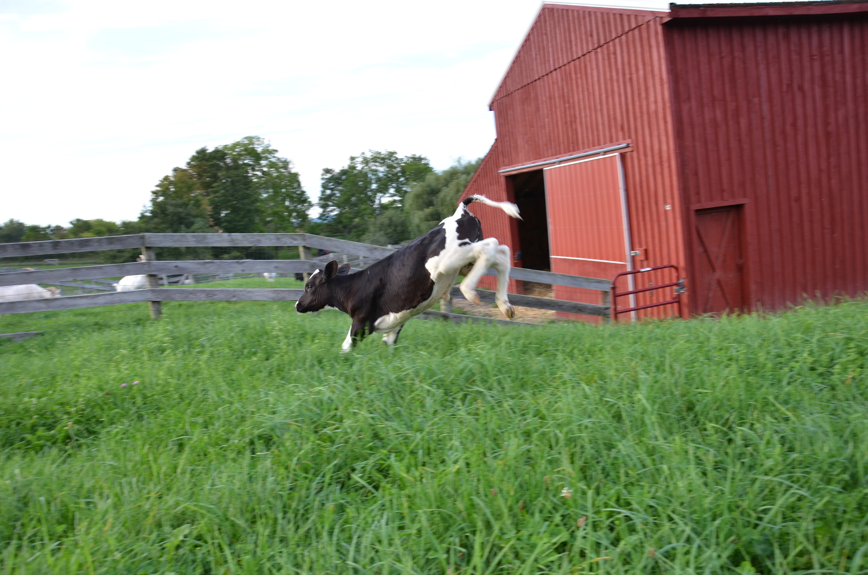 a cow jumping with legs in the air