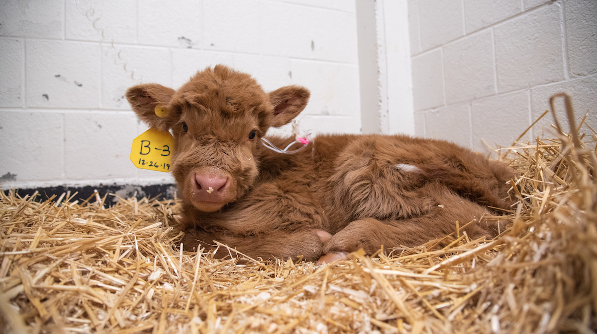 a brown baby calf in the hay