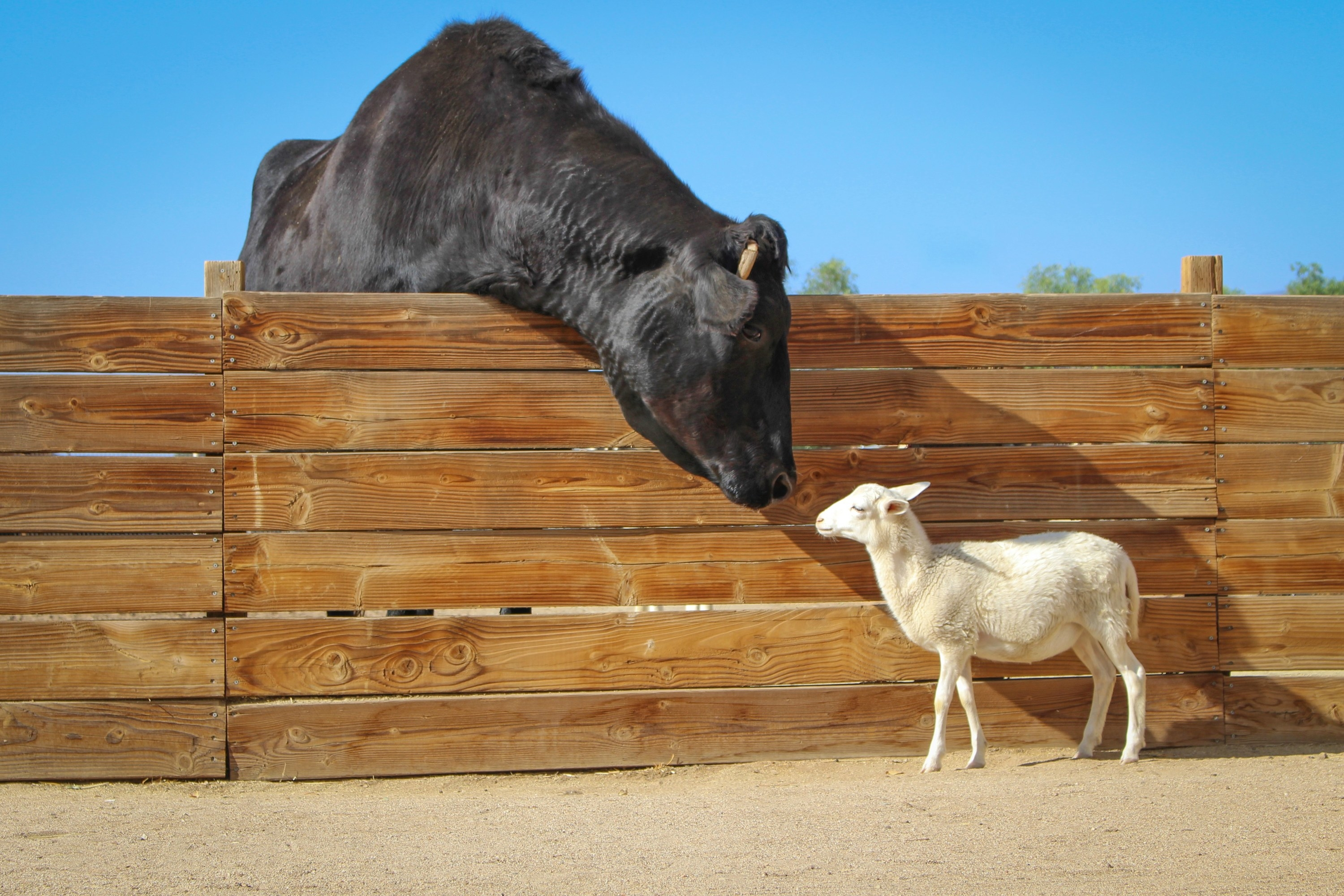 a large steer kissing a sheep